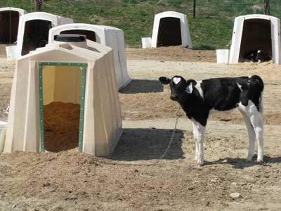 Calves are kept in individual hutches. Photo by Bet Zimmerman.